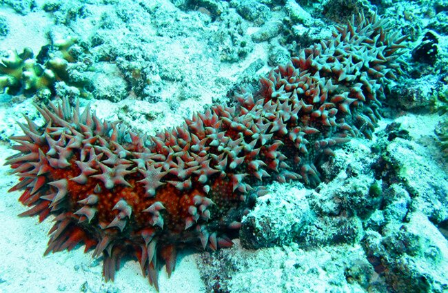Sea Cucumber at Barracuda Point, in Malaysia Photo by: Bernard DUPONT https://creativecommons.org/licenses/by-sa/2.0/