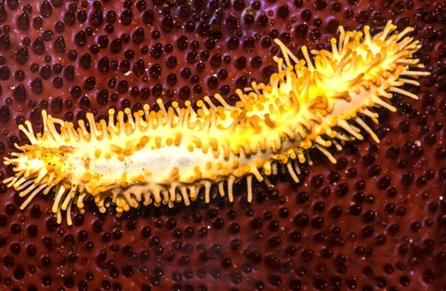 Stiff-footed Sea Cucumber Photo by: Jerry Kirkhart https://creativecommons.org/licenses/by-sa/2.0/