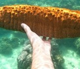 A Diver Showing Off A Large Sea Cucumber Photo By: Colin And Sarah Northway Https://creativecommons.org/licenses/by-Sa/2.0/