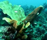 Elephant Ear Sponge Photo By: Bernard Dupont Https://creativecommons.org/licenses/by-Nd/2.0/