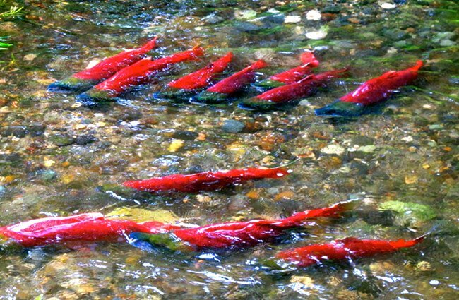 Spawning Sockeye Salmon Photo by: Katrina Liebich, U.S. Fish and Wildlife Service Headquarters https://creativecommons.org/licenses/by/2.0/
