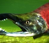 Zombie Fish (Kokanee Salmon) Photo By: Tom Koerner, Usfws Mountain-Prairie Https://creativecommons.org/licenses/by/2.0/