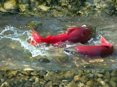 Sockeye Salmon in a shallow creek during spawningPhoto by: (c) VasikO www.fotosearch.com
