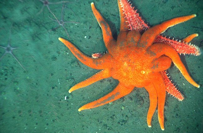 This orange Sun Star attacking a Spiny Red Sea Star Photo by: Ed Bowlby, NOAA [Public domain]