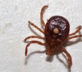 Lone Star Tick, Plucked From The Body Of A Hiker Photo By: Elizabeth Nicodemus Https://creativecommons.org/licenses/by/2.0/