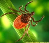 Black-Legged Tick, Or Deer Tick Causes Lyme Disease Photo By: Fairfax County Https://creativecommons.org/licenses/by/2.0/