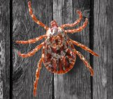 Rocky Mountain Wood Tick Photo By: Andrey Zharkikh Https://creativecommons.org/licenses/by/2.0/
