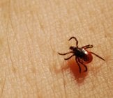 Female Deer Tick Photo By: Joshua Mayer Https://creativecommons.org/licenses/by/2.0/