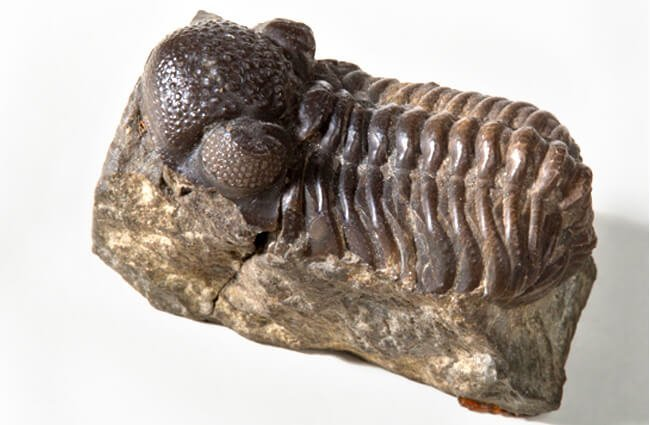 Trilobite fossilPhoto by: UCL Mathematical & Physical Scienceshttps://creativecommons.org/licenses/by/2.0/