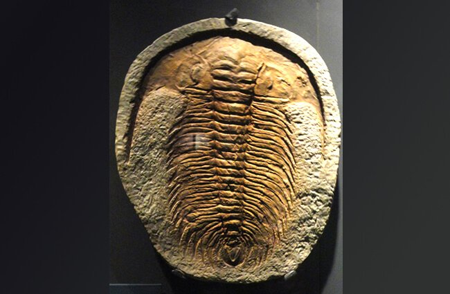 Trilobite fossil at Desert Museum Photo by: Juan Carlos Fonseca Mata CC BY-SA https://creativecommons.org/licenses/by-sa/4.0