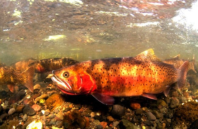 Spawning Cutthroat Trout Photo by: Jay Fleming, Yellowstone National Park (public domain) https://creativecommons.org/licenses/by/2.0/