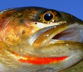 Yellowstone Cutthroat Trout Play A Critical Role In The Greater Yellowstone Ecosystem Photo By: Aaron Nistler, Usfws Mountain-Prairie Https://creativecommons.org/licenses/by/2.0/