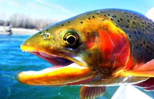 Closeup of an Idaho Rainbow TroutPhoto by: Bureau of Land Managementhttps://creativecommons.org/licenses/by/2.0/