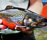 Male Coaster Brook Trout, At Iron River National Fish Hatchery In Wisconsin Photo By: Katie Steiger-Meister, Usfws Midwest Region Https://creativecommons.org/licenses/by/2.0/