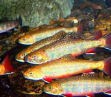 Brook Trout Photo By: U.s. Fish And Wildlife Service Southeast Region Https://creativecommons.org/licenses/by/2.0/