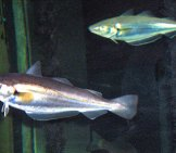 Whitings In An Aquarium Photo By: Georges Jansoone (Jojan) Cc By Https://creativecommons.org/licenses/by/3.0
