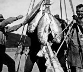 Albacore, C 1931 Photo By: Queensland State Archives [Public Domain] Https://creativecommons.org/licenses/by/2.0/