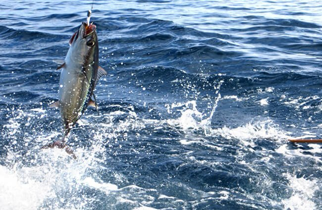 Albacore tuna hooked on a bait pole Photo by: NOAA Fisheries West Coast https://creativecommons.org/licenses/by/2.0/