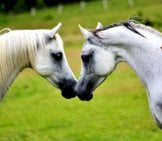 Kissing Friends - A Pair Of Arabian Horses Photo By: Ainslie Gilles-Patel From Pixabay Https://pixabay.com/photos/arabians-Horses-Equines-Animals-2395184/