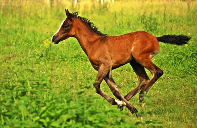 Arabian filly running through the grass Photo by: rihaij from Pixabay https://pixabay.com/photos/horse-foal-brown-2510188/