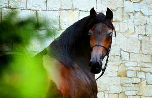 portrait of a beautiful Arabian stallionPhoto by: Dorota Kudyba from Pixabayhttps://pixabay.com/photos/horse-equine-head-portrait-3812093/