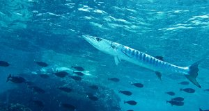 Blackfin BarracudaPhoto by: Bernard DUPONThttps://creativecommons.org/licenses/by-sa/2.0/