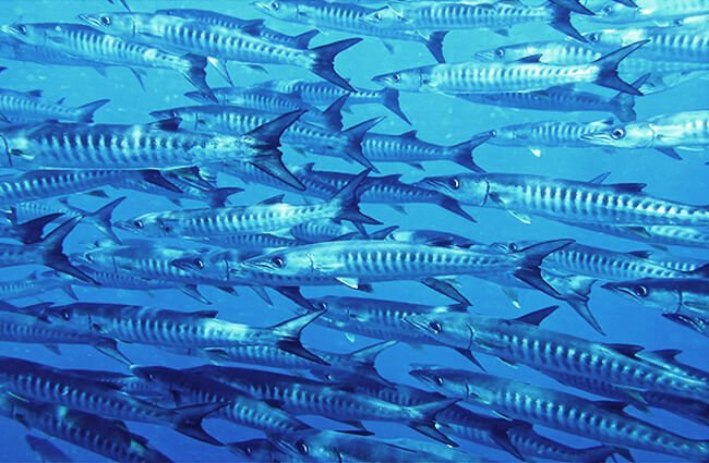 School of Blackfin Barracudas Photo by: Bernard DUPONT https://creativecommons.org/licenses/by-sa/2.0/
