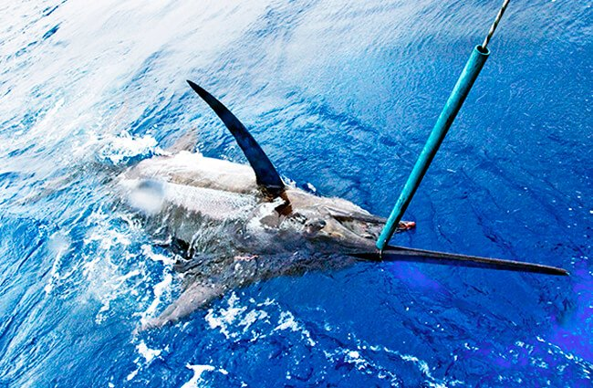 A large Blue Marlin being hauled into a fishing boat Photo by: Phil https://creativecommons.org/licenses/by-sa/2.0/