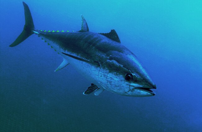 Closeup of a Bluefin Tuna Photo by: (c) Whitepointer www.fotosearch.com