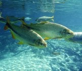 A Small School Of Bonito Off The Coast Of Brazilphoto By: David Morimotohttps://creativecommons.org/licenses/by/2.0/