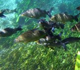 A School Of Bonito Photo By: Andre Deak [Public Domain] Https://creativecommons.org/licenses/by/2.0/