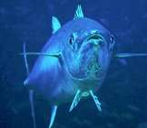 Dogtooth Tuna, Which Is A Species Of Bonito Photo By: Lakshmi Sawitri Https://creativecommons.org/licenses/by/2.0/