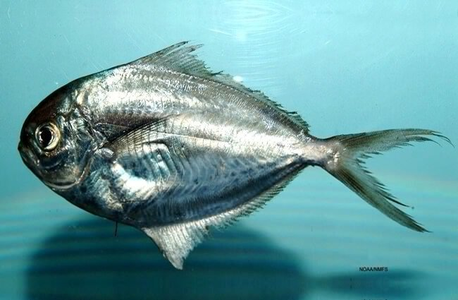 Gulf Butterfish from the Gulf of Mexico Photo by: Brandi Noble, NOAA Photo Library https://creativecommons.org/licenses/by/2.0/