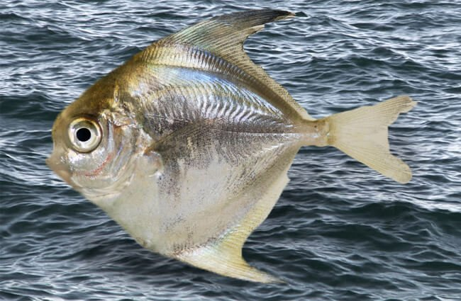 Harvestfish, or Butterfish Photo by: Smithsonian Environmental Research Center https://creativecommons.org/licenses/by/2.0/