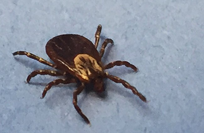 A female adult Dog Tick Photo by: NIAID https://creativecommons.org/licenses/by/2.0/