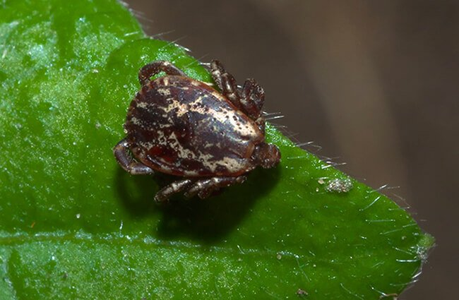 Dog Tick on a green leaf Photo by: xpda CC BY-SA https://creativecommons.org/licenses/by-sa/4.0