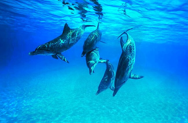 A pod of dolphins off Key West, Florida Photo by: Jay Ebberly https://creativecommons.org/licenses/by-nd/2.0/