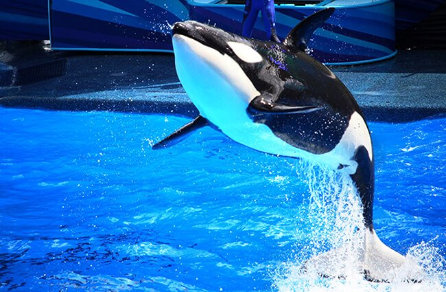 Orca at SeaWorld in Orlando Florida Photo by: Chad Sparkes https://creativecommons.org/licenses/by-nd/2.0/