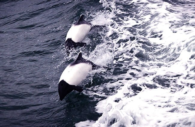 A pair of Commerson's Dolphins Photo by: ravas51 https://creativecommons.org/licenses/by-nd/2.0/