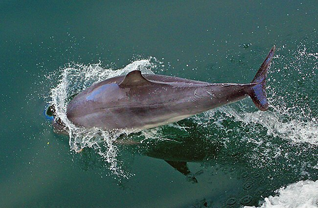 Dolphin Photo by: Bernard Spragg. NZ [public domain] https://creativecommons.org/licenses/by-nd/2.0/