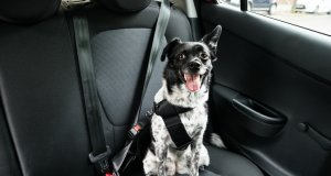 dog car seat by: fotosearch.com