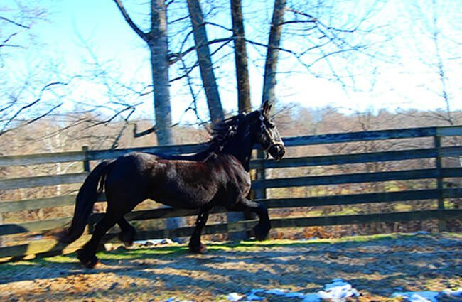 A Friesian trotting around his corral Photo by: hlseffigy https://creativecommons.org/licenses/by-nd/2.0/