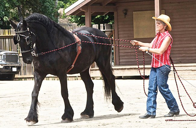 A working Friesian Photo by: Jean https://creativecommons.org/licenses/by-nd/2.0/