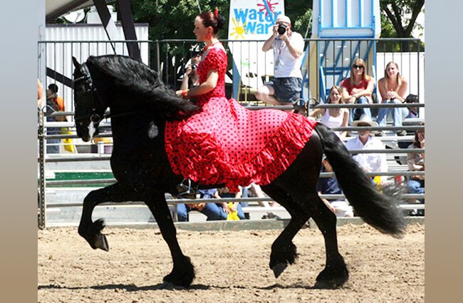 A magnificent Friesian in the show ring Photo by: Jean https://creativecommons.org/licenses/by-nd/2.0/