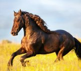 A Stunning Friesian Horse Gallopingphoto By: (C) Melory Www.fotosearch.com