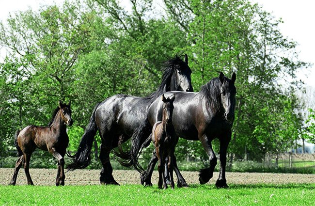 A pair of Friesian mares with their foals Photo by: Ria Algra from Pixabay https://pixabay.com/photos/horse-horses-foal-foals-animals-4207118/