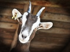 Goat in a barnPhoto by: RitaE from Pixabayhttps://pixabay.com/photos/goat-livestock-farm-horns-3613728/
