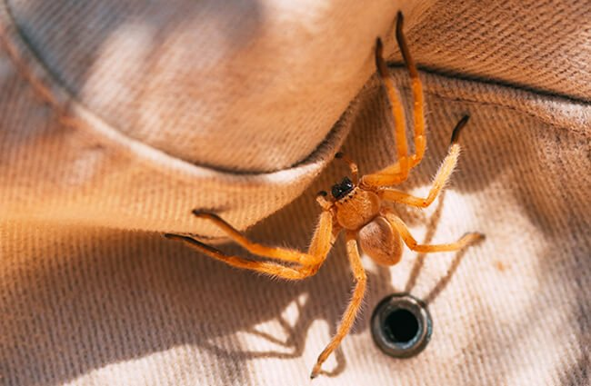 Hobo Spider photographed in Labyrinth Canyon, Utah Photo by: Tristan Loper https://creativecommons.org/licenses/by-sa/3.0/us/