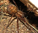 A Well-Camouflaged Hobo Spider Photo By: Géry Parent / Cc By-Sa Https://creativecommons.org/licenses/by-Sa/4.0
