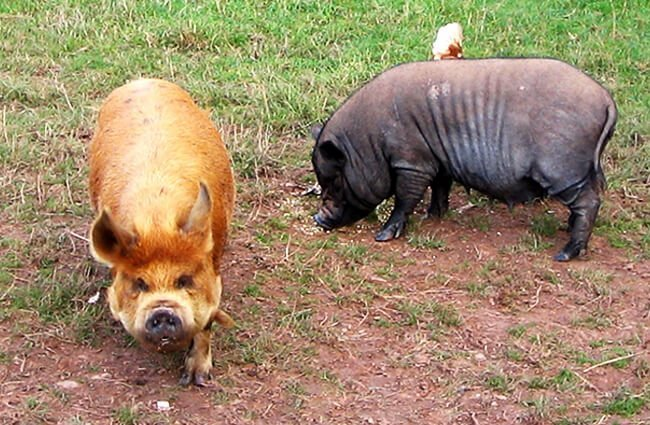 A pair of Kune Kune pigs in the yard Photo by: Chris https://creativecommons.org/licenses/by-sa/2.0/